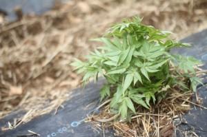 栽培中のヒュウガトウキ